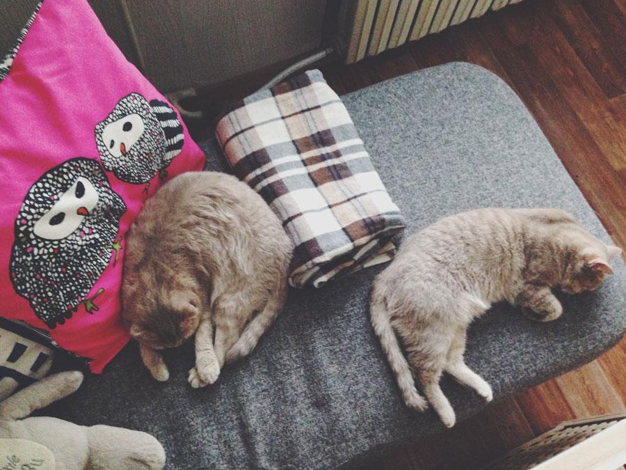 Шотландские кошки любят поспать.