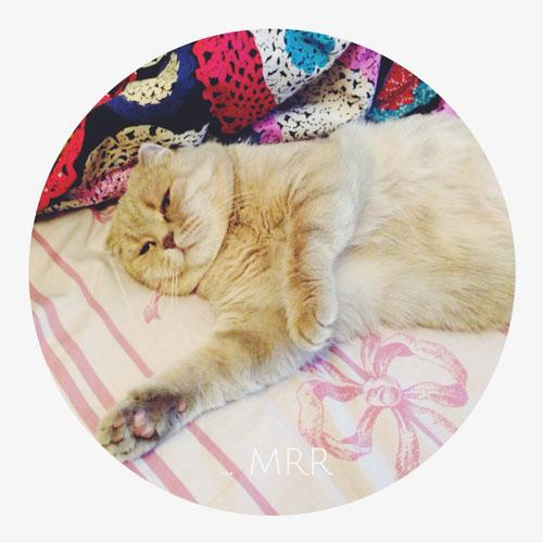 Одри — шотландская спящая кошка.
